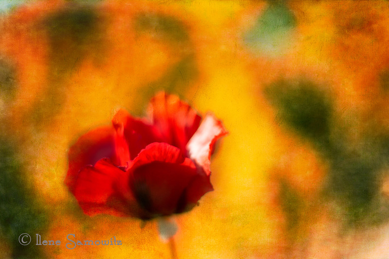 6-14-12 A textured and soft-focused poppy.  This is not the usual photo that I take or process.  This was taken at f1.4 so the depth of field is razor thin giving that glowing and dreamy effect.  I added some texture as well to alter the reality of the flower.