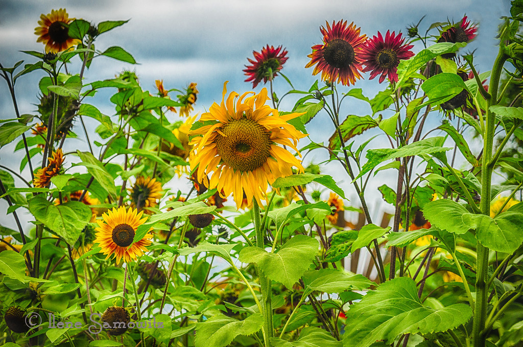 8-22-12 Sunflower Patch - this 5 exposure HDR was processed with HDR Effex Pro 2.  While processing it, I identified an image to be the master to help reduce the ghosting of the flower movement.  I finished the post processing with a few other filters in Color Effex 4 such as Foliage, Detail Extractor, and Glamour Glow.<br /> <br /> Critiques welcome.