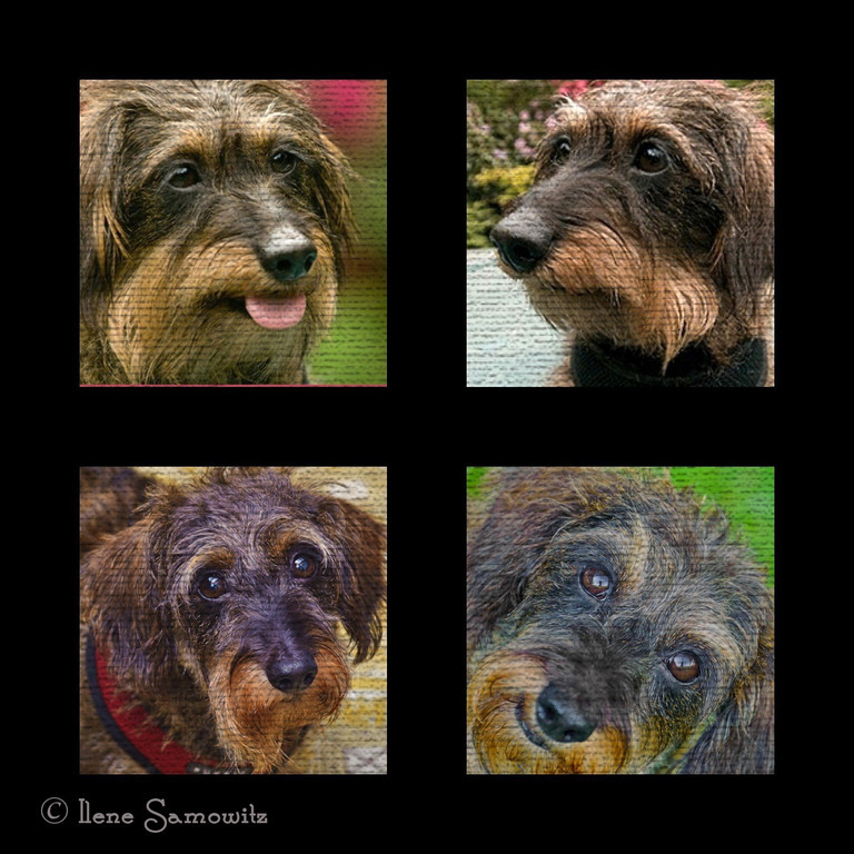 8-12 The Faces of Misty ...Misty is my wired haired mini dachshund.