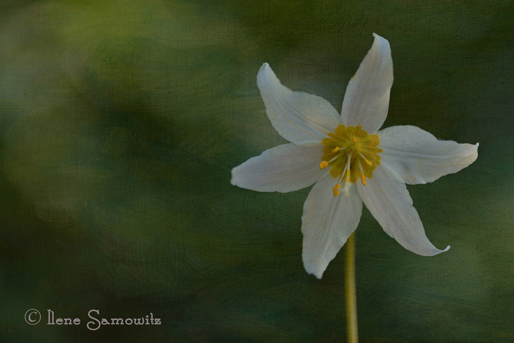 8-9 Avalanche Lily - I used the rented Nikon 200 F4 micro with my Nikon D800E to make this image.  In PP I then textured it using a wonderful texture from Flypaper Textures Summer Painterly collection.