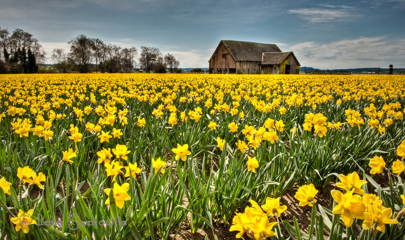 Skagit Barn and Daffodils, Mount Vernon, Washington<br /> <br /> I went up to the Skagit again  on Sunday and was pleasantly surprised to see the daffodil field that I photographed two weeks ago still in bloom.  I decided to try a couple of different angles and perspectives.  Happy spring and daffodils.
