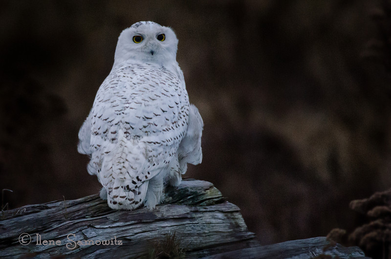 Snowy Owl At Dawn