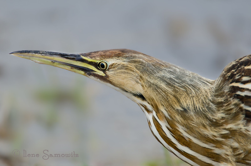 The Elusive Bittern