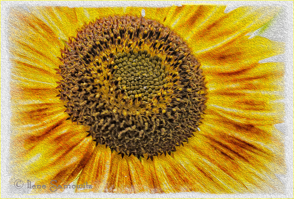 8-20-12 Reaching for the Sun - I took this image yesterday at a demonstration garden in Mount Vernon, Washington. I used the Oil Paint Filter in Photoshop CS6 to give it the texture and then framed it using Photoframe. <br /> <br /> Critiques welcome.