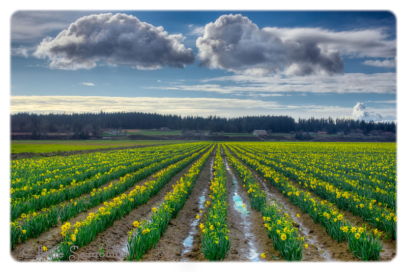 Here Come the Daffodils<br /> Skagit County, Washington