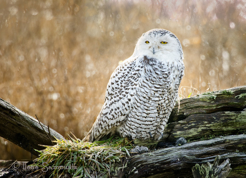 Another Snowy Owl<br /> Boundary Bay, British Columbia, Canada