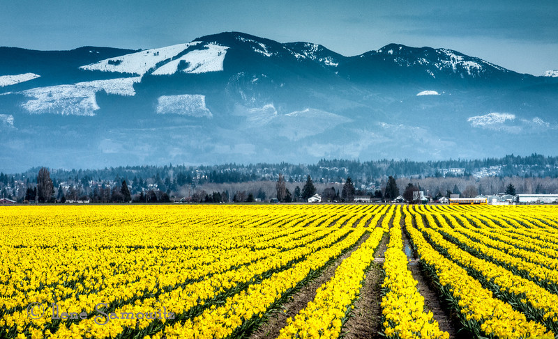 Skagit Daffodils in Bloom