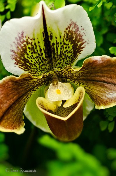 Another Orchid from the Volunteer Park Conservatory