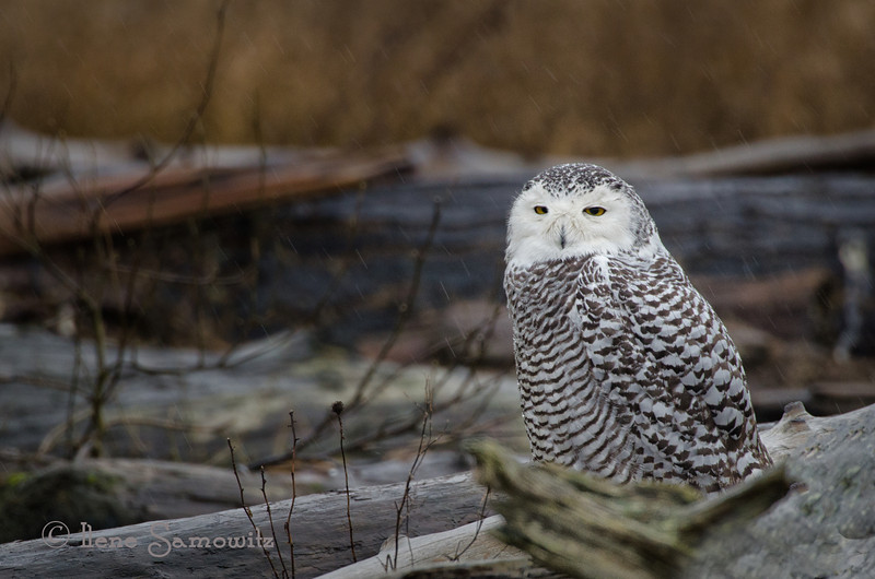 Environmental Portrait of a Snowy Owl