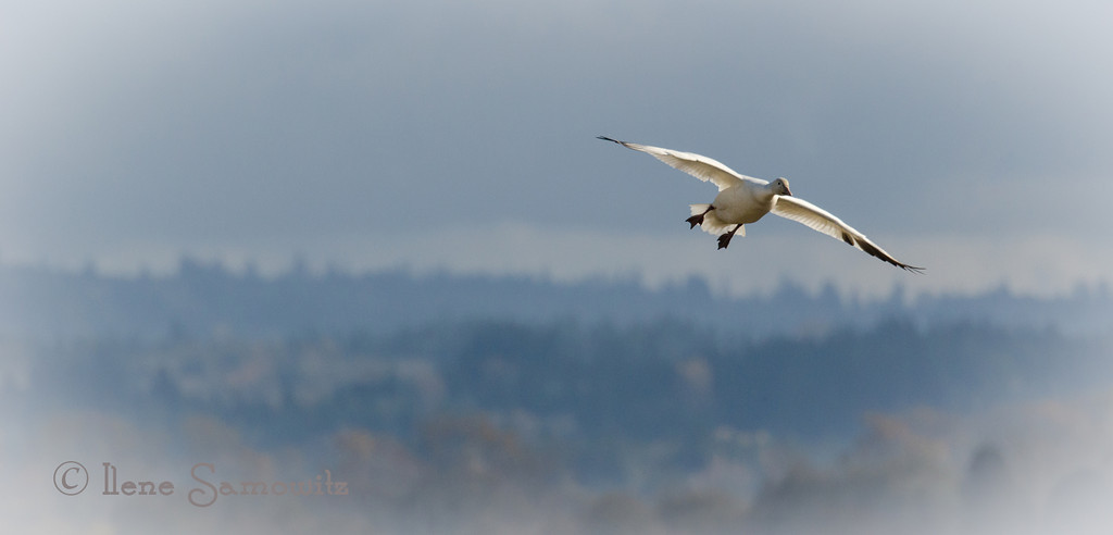 11-3-13 Skagit Snow Goose - I like the softness of the distant hills. It has a nice painterly feeling.
