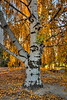 11-23-13 T is for Tree. (Birch)<br /> <br /> Taken in Dufur, Oregon