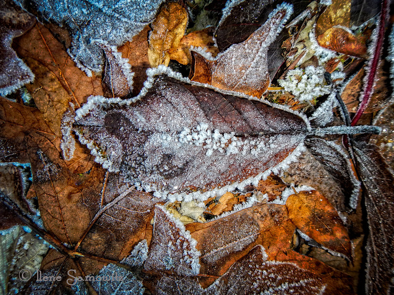 12-11-13 Icy leaves<br /> Seattle, WA