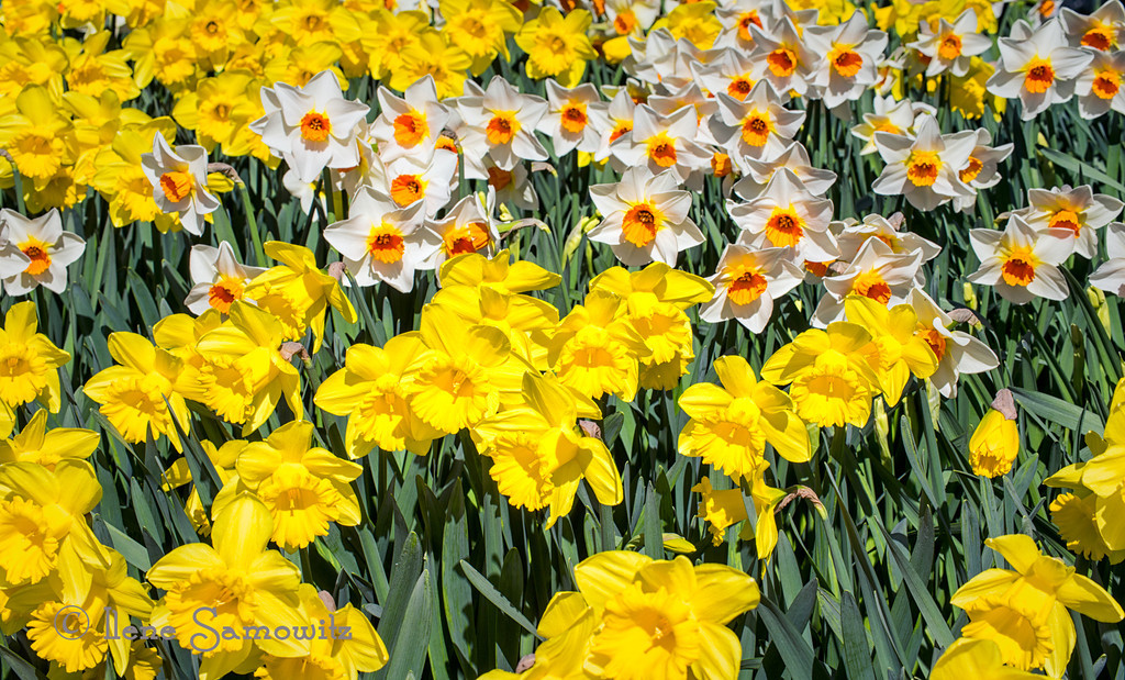 3-31-13 Happy spring.  Daffs from Mt Vernon, Skagit,  WA.  Capital of bulbs.  We had a beautiful spring day.  <br /> <br /> Thanks for all the feedback on the ghosting.