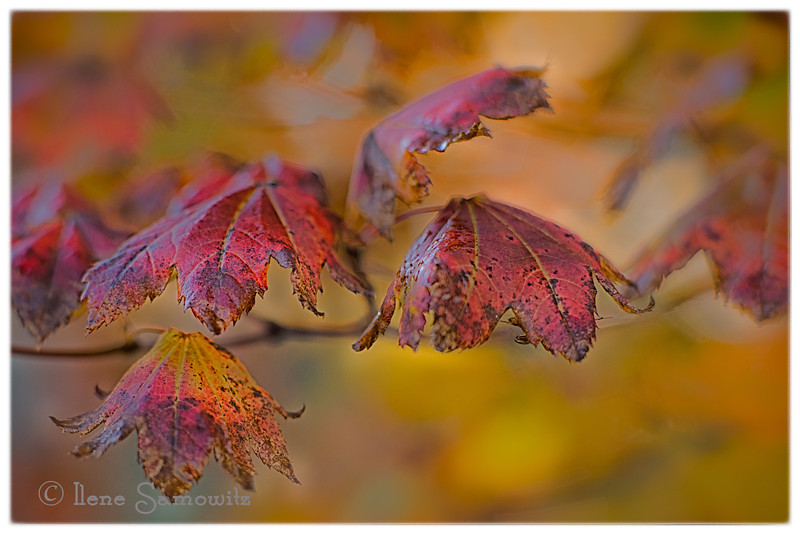 10-14-13 Vine Maple in Fall.  I took this with my Nikon 85 1.8 lens using an extension tube to get really close. I love the painterly feel of the image.  Processed in LR 5.2 and Color Effex 4.0.