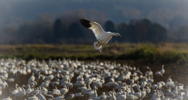 11-4-13 Make Room for Me<br /> <br /> Snow Geese, Fir Island, Washington