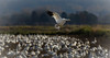 11-4-13 Make Room for Me<br /> <br /> Snow Geese, Fir Island, Washington