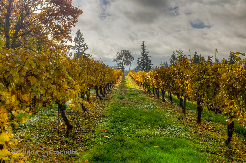 "12-7-13 V is for Vineyard. This one was outside of Salem, Oregon in the Willamette Valley.<br /> <br /> Thanks for making my Oregon Coast Clouds number one for the day.  I appreciate ll the wonderful comments and support. <br /> <br /> I had an image that puzzled many a few days ago.  It was taken at another Chicago landmark - Crown Fountain, an interactive piece of art. There are two parts to the fountain and I posted the one with the face several days ago.  While I was there there were two workers inside the other fountain wearing hard hats fixing. Or adjusting the lights. I too found that shot to be very interesting.  <a href=""http://www.ilenesamowitz.com/Photo-A-Day/PAD2013/27351726_M4TCvC#!i=2929522185&k=SdjRnTF"">http://www.ilenesamowitz.com/Photo-A-Day/PAD2013/27351726_M4TCvC#!i=2929522185&k=SdjRnTF</a><br /> <br /> Lastly, Terry asked a couple of days ago about Lensbaby. Lensbaby  has series of products that work with interchangeable lens systems use different optics to produce images with different kinds of selective focus or fisheye effects. I have been a fan for several years and it is fun to shoot with them. I think my favorite optic is the plastic optic.<br /> <a href=""http://lensbaby.com/"">http://lensbaby.com/</a>"