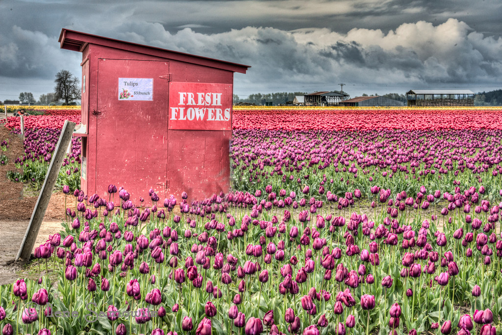 4-21-13 The Skagit is in full bloom.  Left my house at 4am to get there for sunrise.  It was raining from Seattle to Mount Vernon but when we got there the streets were dry and it did not rain for the two plus hours we shot.