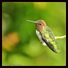 7-16-13 Hummingbird taken in my Seattle yard.  Who says you can't get delicious Bokeh from a small sensor camera like the Nikon 1 V1?  Try it with the afs adapter and 70-300 VR lens for an equivalent focal length of 810mm.  Sweet!!<br /> <br /> <br /> Processed on the iPAD.