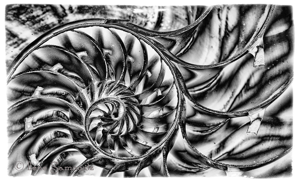 1-16-13 This is a nautilus shell captured in 3 exposures.  It was shot indoors using continuous light.  I did the black and white conversion using Silver Effex's solarization preset a a starting point.  <br /> <br /> Critiques Welcome.