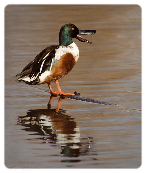 10-15-13 Northern Shoveler and Reflection<br /> Union Bay Natural Area<br /> Seattle, Washington<br /> <br /> Thanks for making my vine maple shot number one.