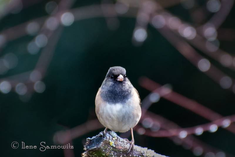 1-11-13 Backyard Junco - captured using a Nikon V1 camera with my Nikon 70-300 VR.  With the 2.7 crop factor the effective focal length was 810mm.  Amazing.<br /> <br /> Critiques Welcome.