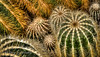 1-21-13 Cactus Dreaming  - This was taken inside the University of Washington Greenhouse with my 200mm macro lens and my Nikon D800E.<br /> <br /> Critiques Welcome.