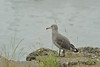 10-1-13. Heerman's Gull