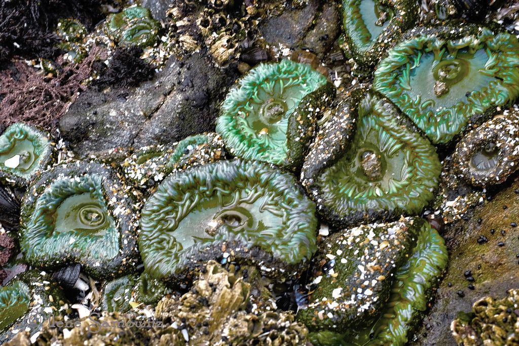 "A is for ""Anemone""<br /> <br /> 8-12-13 This was taken during a low tide on Sunday morning on one of my favorite beaches Seal Rock in Oregon.  We went down to Waldport and Rockaway Beach, Oregon this last weekend for my BD celebration.  Very little rain.  Lots of fog and of course the weather was nicest today (WFH of course and left).   But overall had a wonderful time.  Thanks for the BD wishes."
