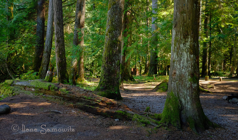 9-16-13 Trees of the North Cascade taken in the  Money Creek Campground between Index and Skykomish, WA.