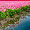 4-26-13 Here is a square crop of the tulip field with a reflection in a mud puddle.  It had been raining for days before last Sunday.  Thanks for making my selective focus tulip number one for yesterday.