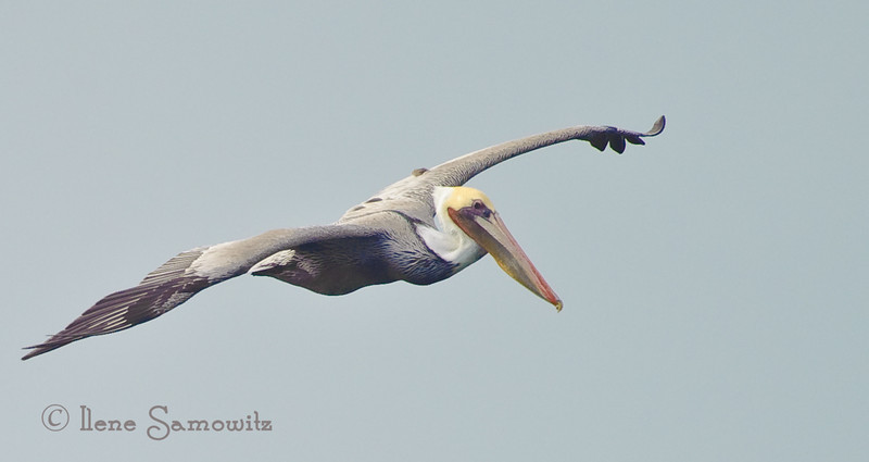 10-29-13 Brown Pelican