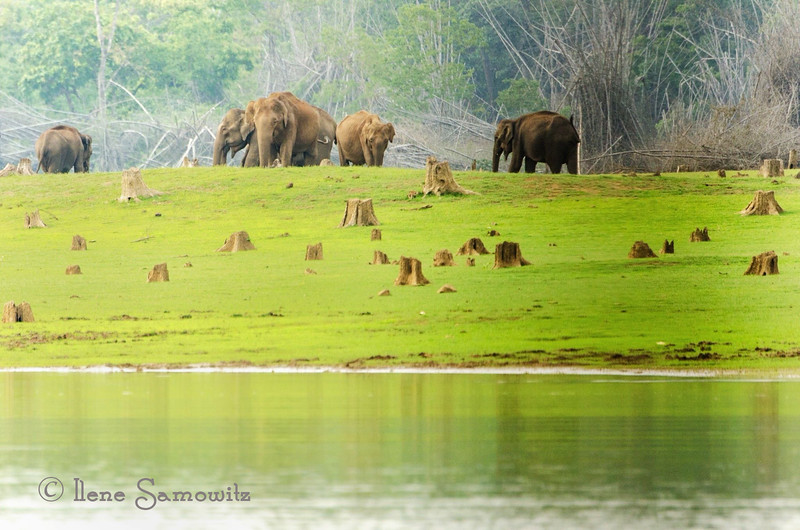 Part of a Wild Elephant herd as see on the boat safari in Nagarhole.