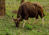 Gaur in Nagarhole, India