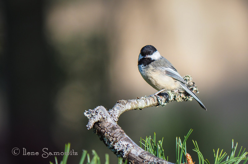 From my archives. A black capped chickadee from my yard.