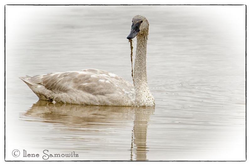 Skagit Trumpeter Swan