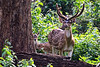 Spotted Deer Buck and Fawn shot in Nagerhole, India