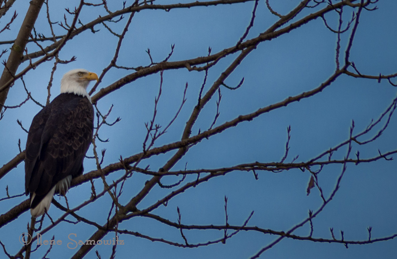 Adult Bald Eagle seen in the Skagit on Sunday.