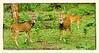 Spotted deer in Nagarhole, India