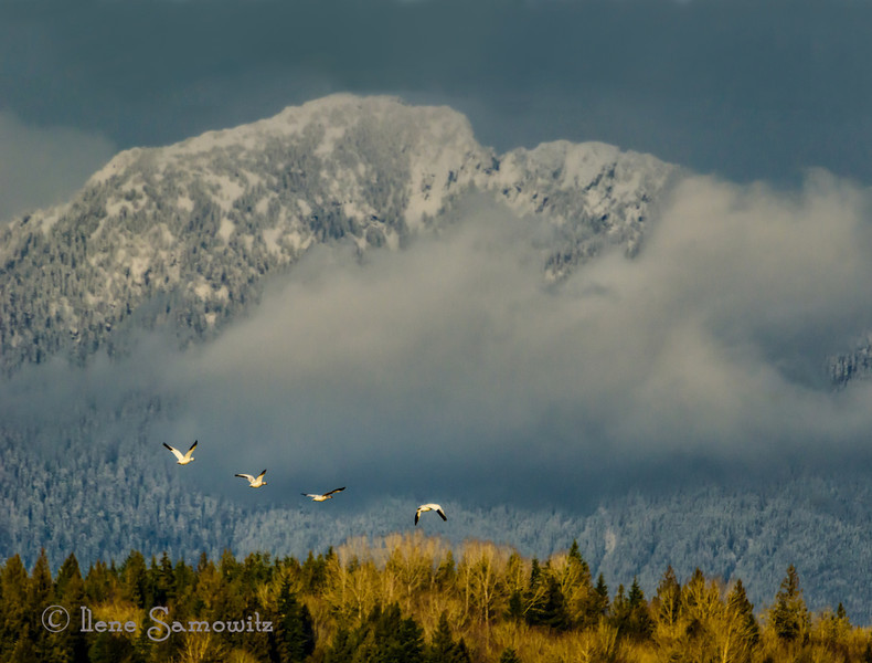 Snow geese in Monroe,  Washington. The Cascades provided a wonderful backdrop. I took a short drive to the Old Snohomish-Monroe road to see if I could find the gyrfalcon.  I read reports that it was seen between 12:30-1 but nowhere in sight during 2:30-4:30. However, I did get some beautiful light and some nice shots of snow geese, barns, and an old dodge truck.  I didn't find any letters for the challenge.