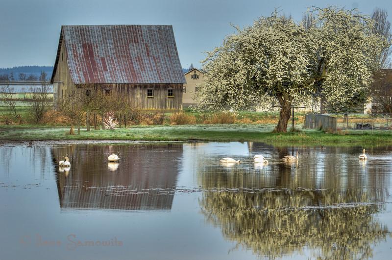 Barn and Tree Reflections on the Swan Pond,Fir Island, Skagit, WA