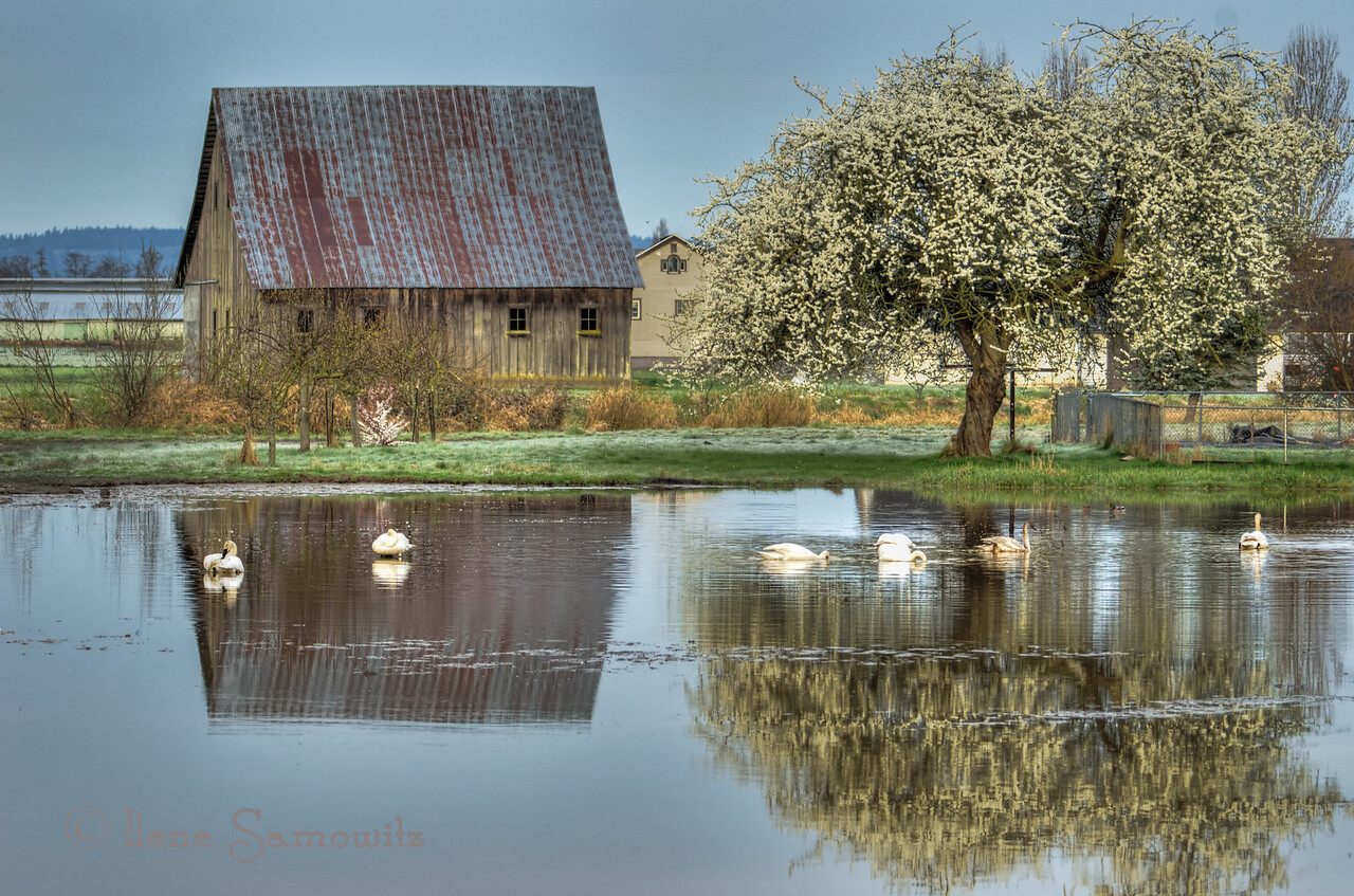 Barn and Tree Reflections on the Swan Pond,Fir Island, Skagit, WA