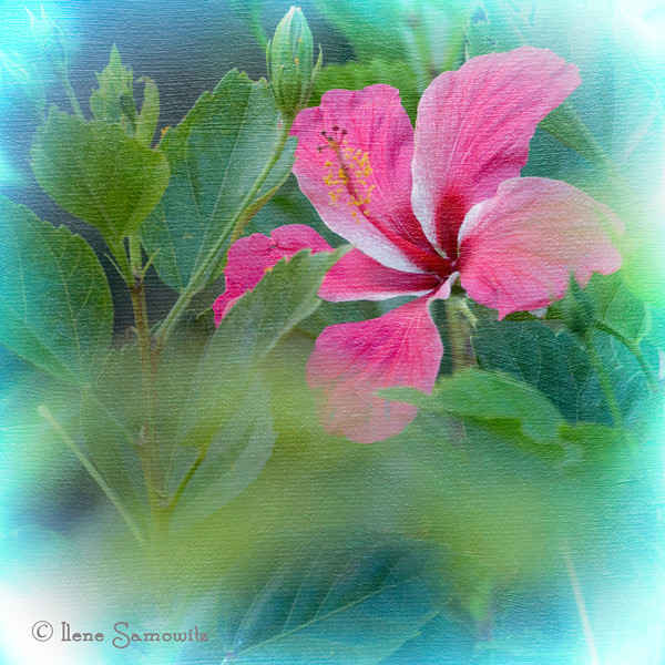 Everyone did a terrific job on the alphabet challenge.  Sorry I was not able to comment but I did get a chance to peruse the entries.  This hibiscus is from the yard at the house we are renting on Kauai.