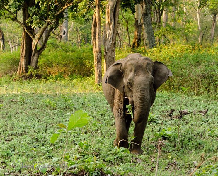 A wild elephantine Nagarhole, India