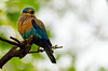 Indian Roller taken in Nagerhole, India