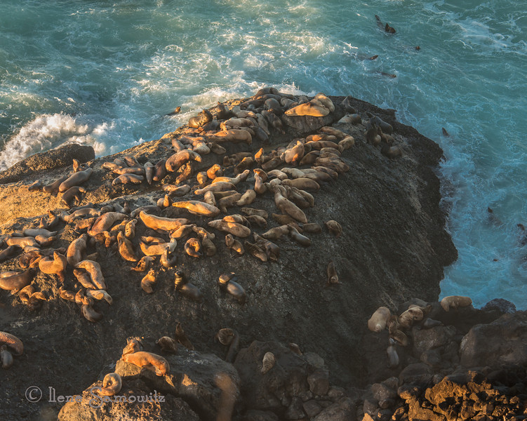 Sea Lions outside of Sea Lion Cave a little north of Florence, Oregon