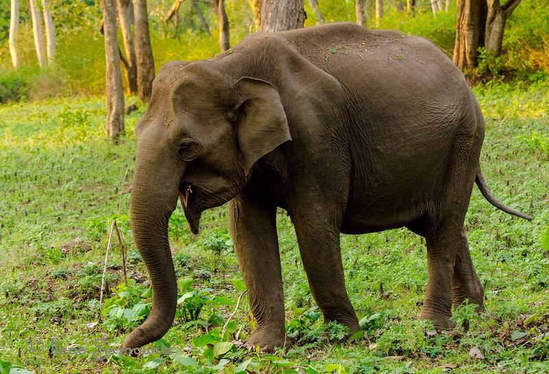 Wild Elephant in Nagerhole, India