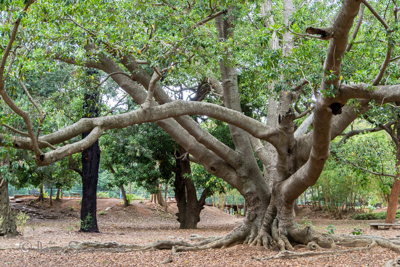 X in this tree found in the Bangalore Botanic Gardens