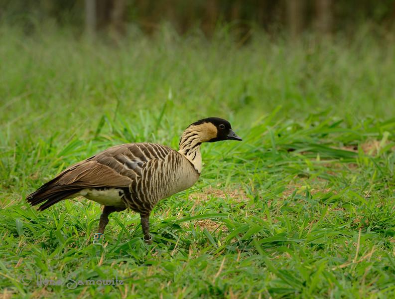 Hawaiian Native Goose the endangered NeNe