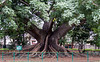 Tree in the Bangalore Botanical Gardens.